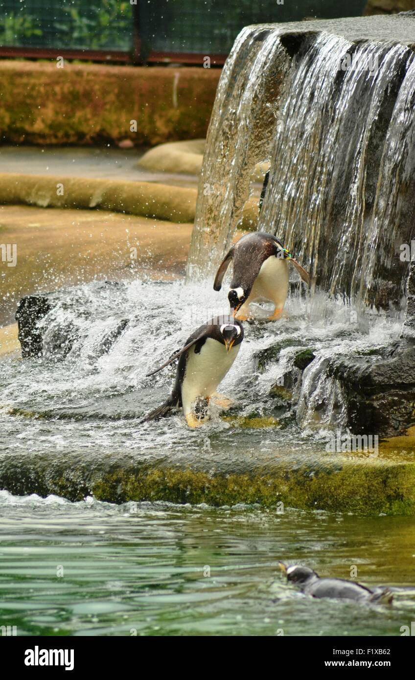 Penguins playing in a waterfall - Stock Image