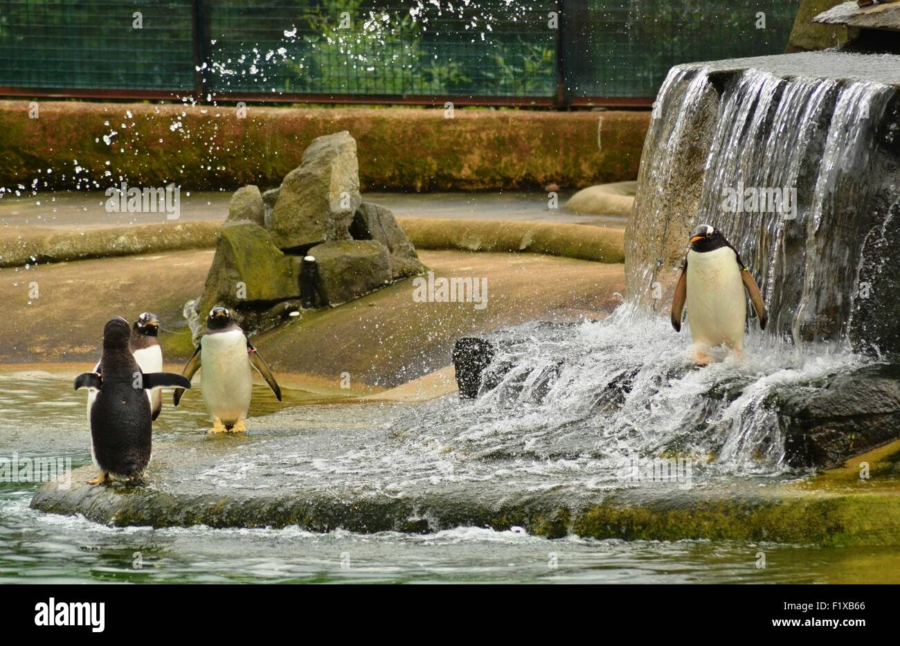 Penguins play in the water - Stock Image