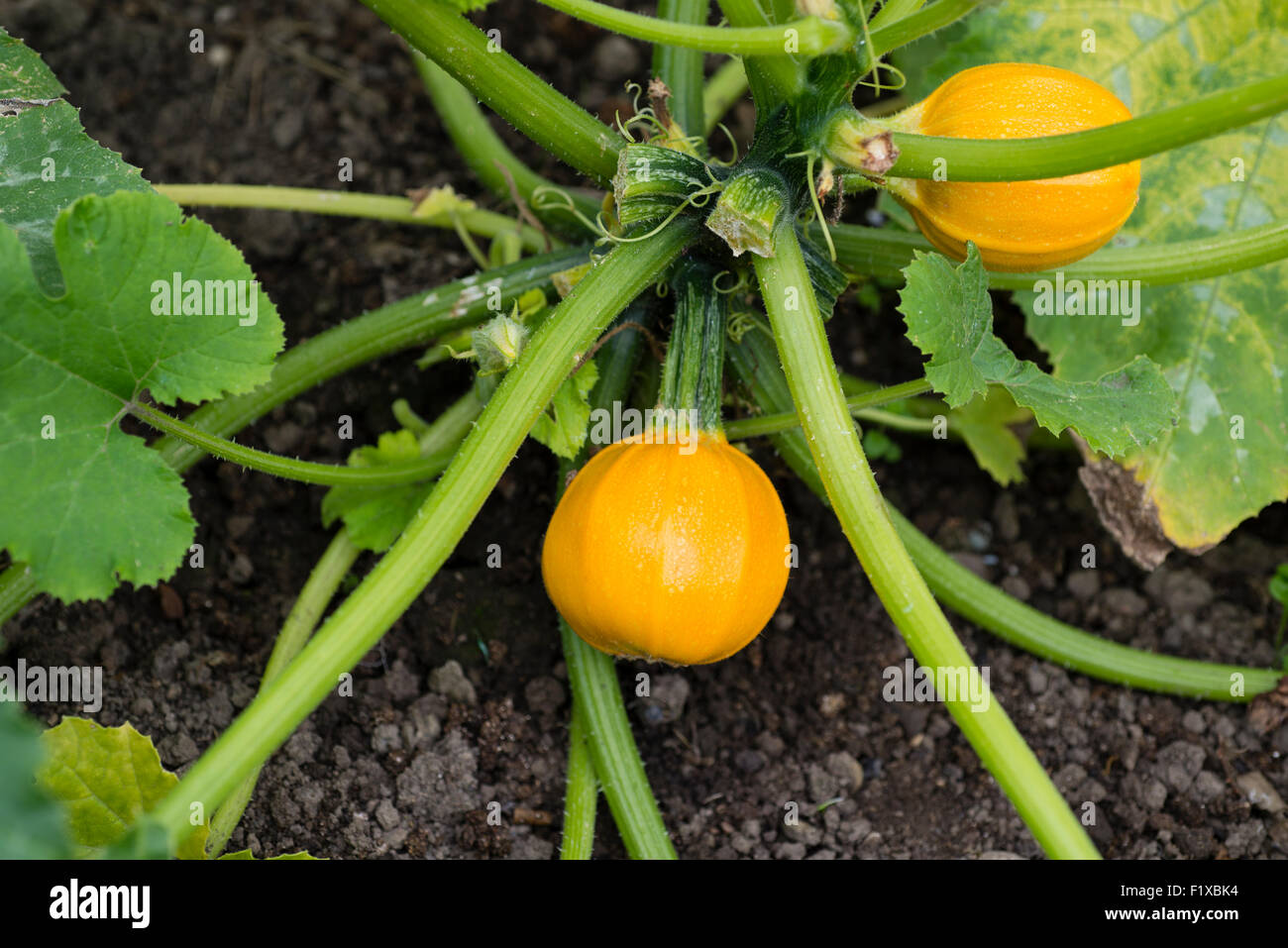 Pumpkin 'Summer Ball' (Cucurbita pepo) growing on an allotment. Sheffield, South Yorkshire, England, UK. - Stock Image