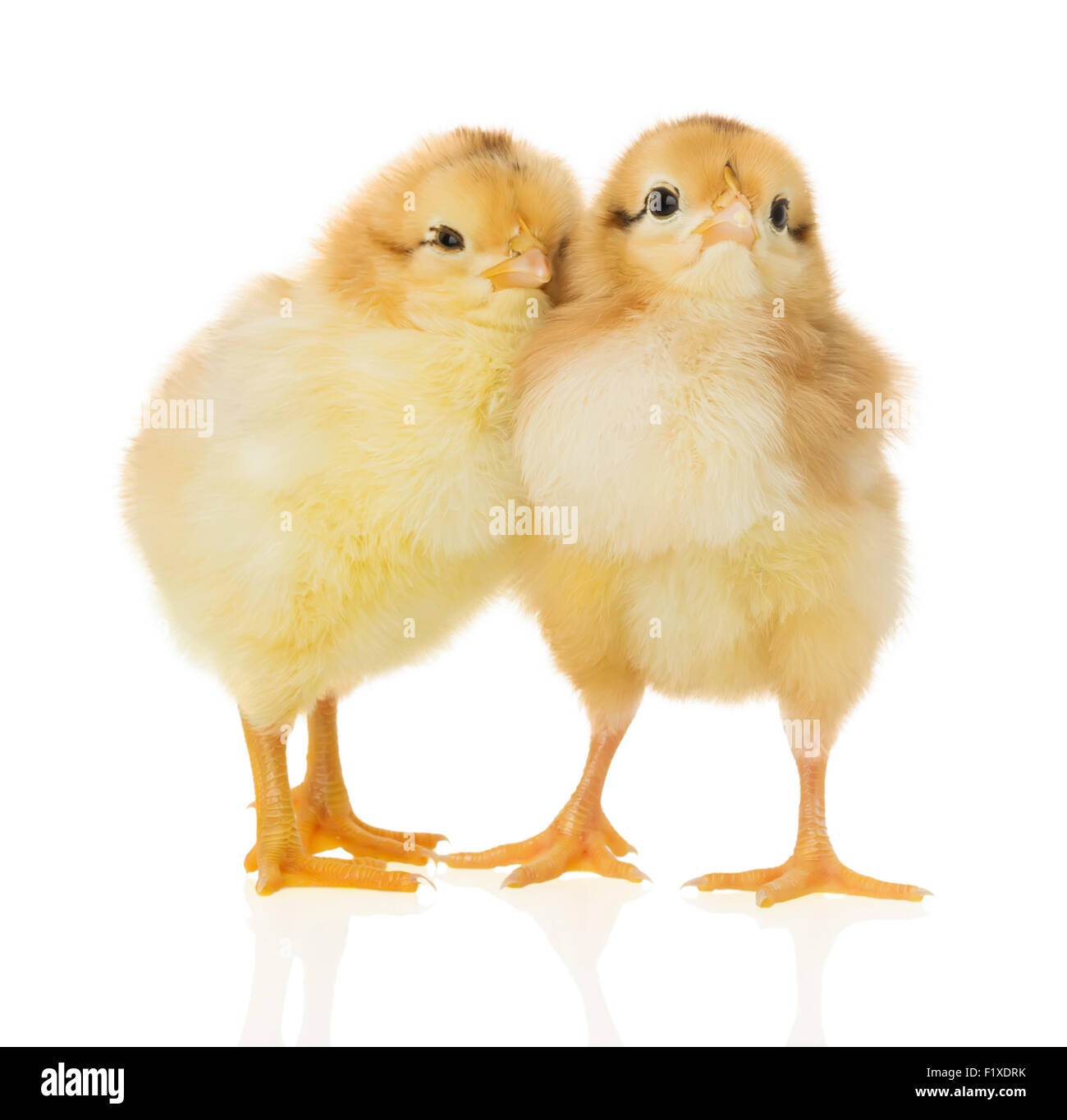 chickens on the white background. - Stock Image
