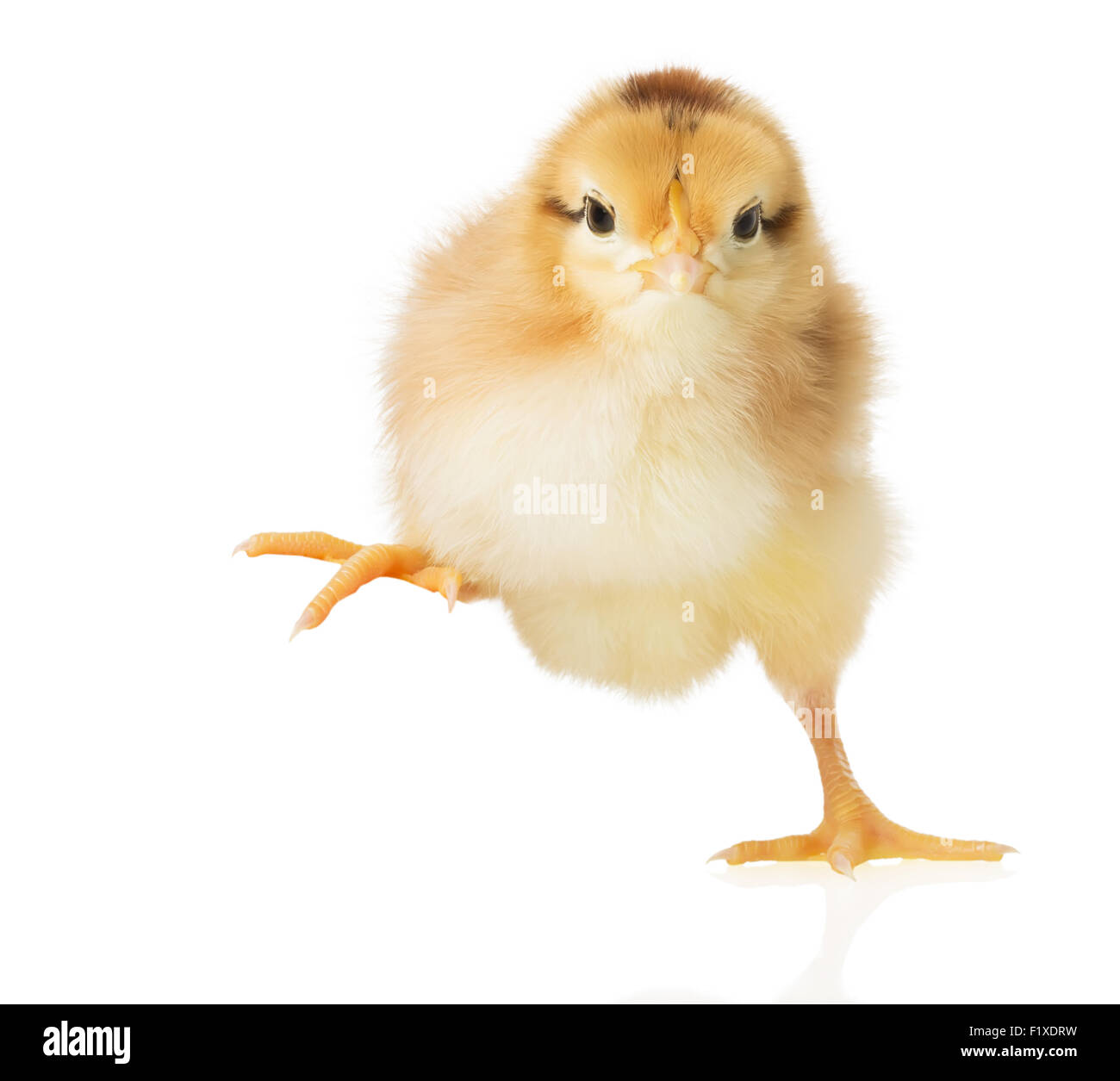 little chick on white background. - Stock Image