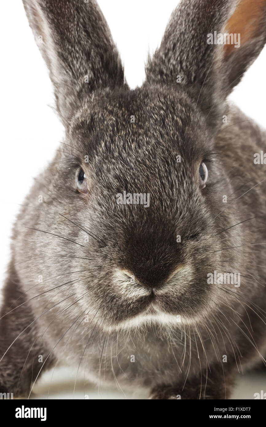 gray rabbit on a white background. - Stock Image
