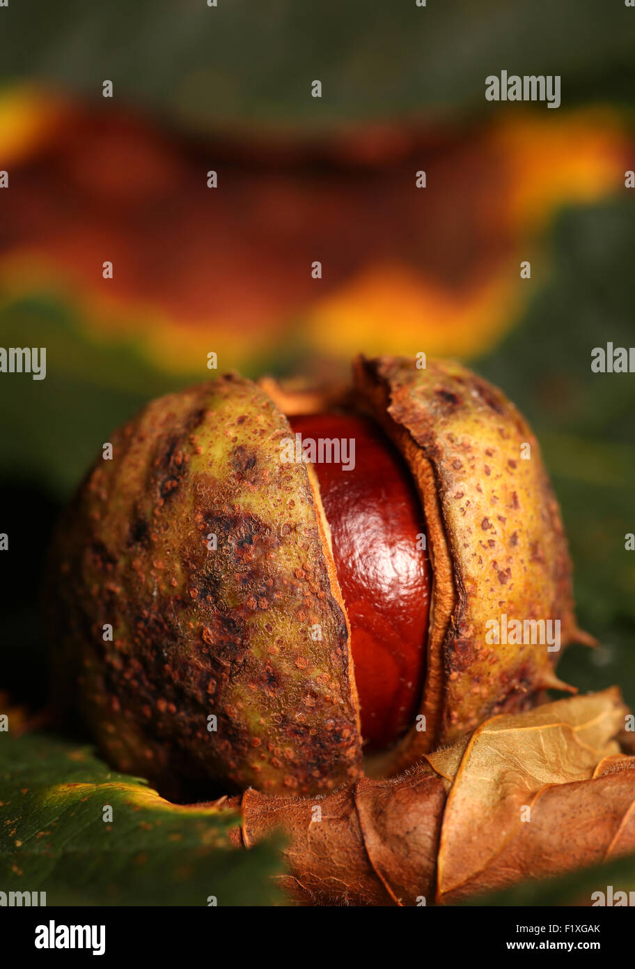 Horse chestnut conker on Autumn leaves - Stock Image