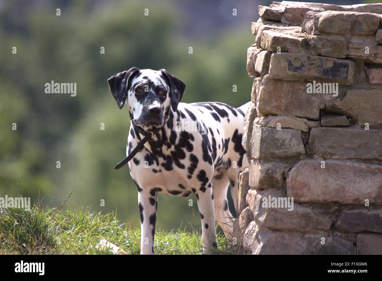 Dalmatian Beacon Country Park Lancashire - Stock Image