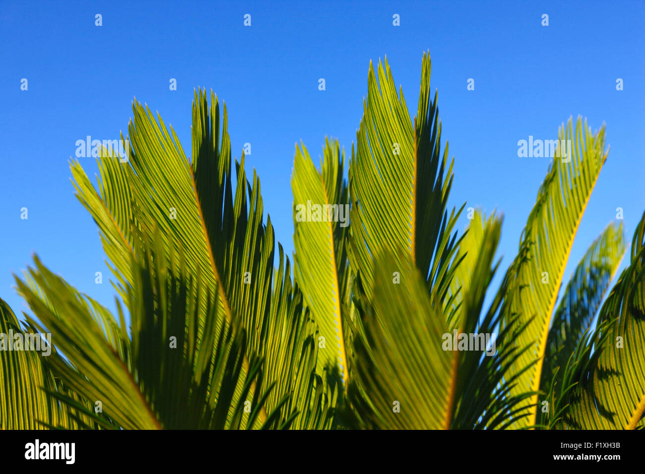 Palm leaves close up - Stock Image