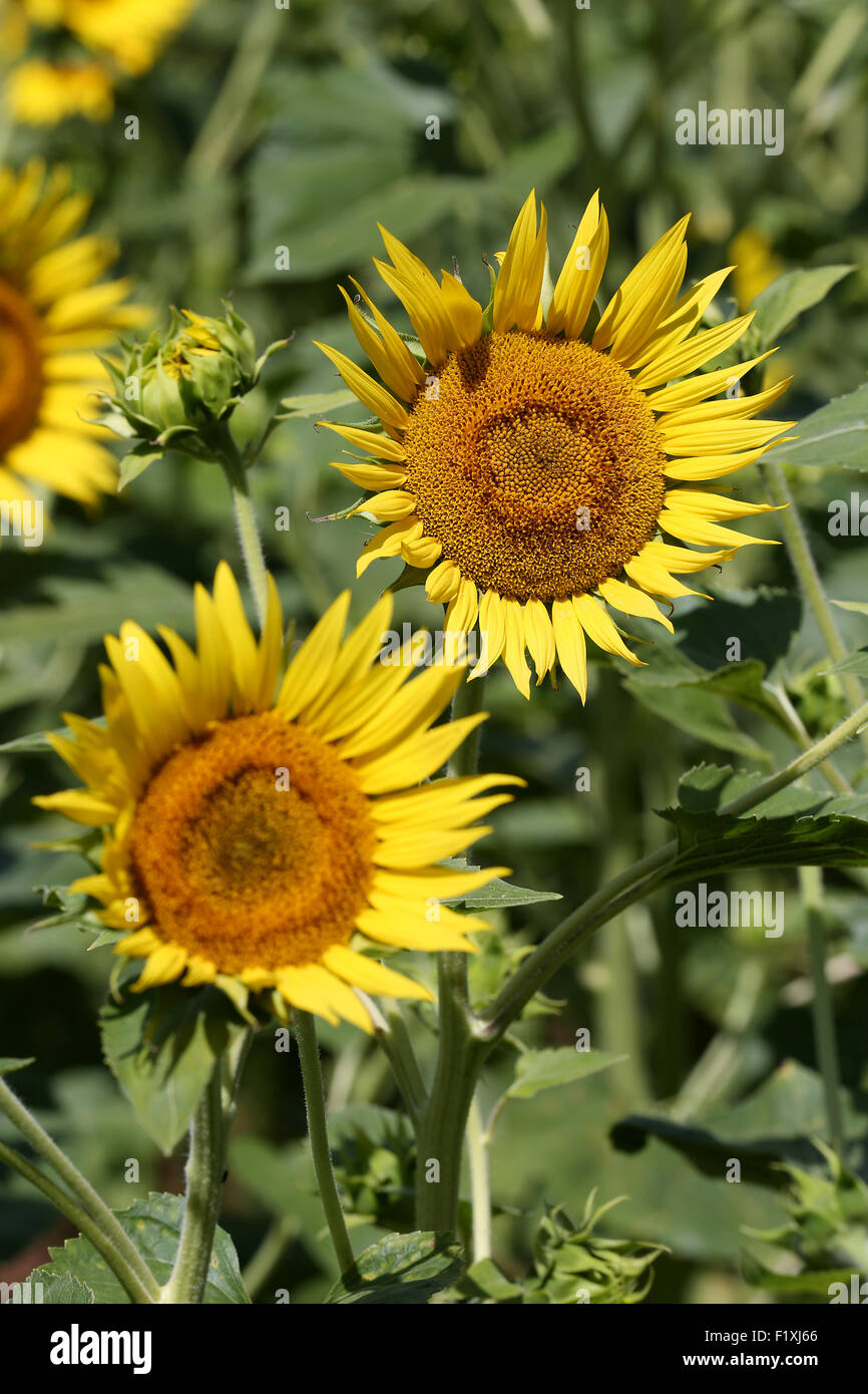 yellow sunflowers growing in France for seeds focused on two heads - Stock Image