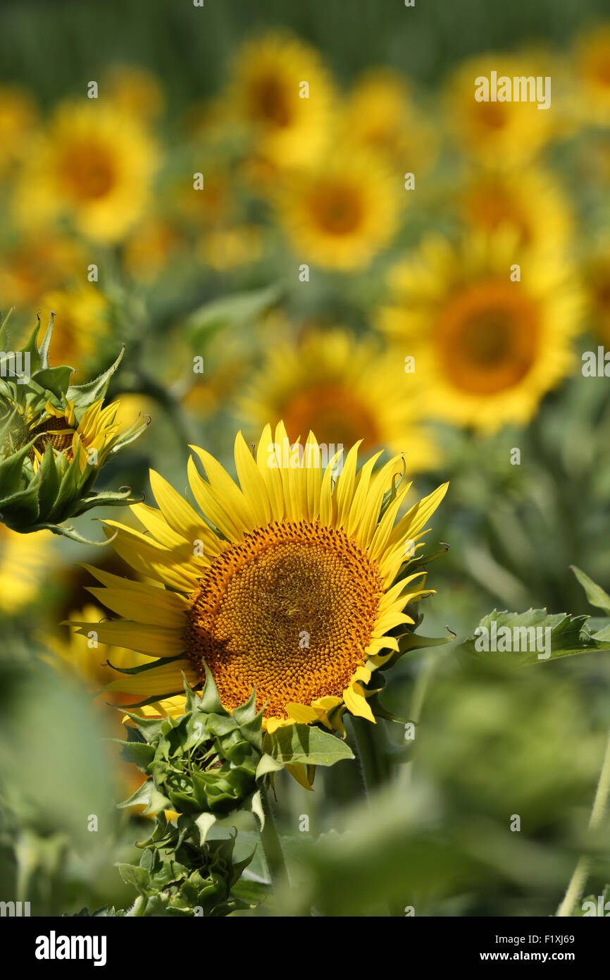 field of yellow sunflowers growing in France for seeds - Stock Image