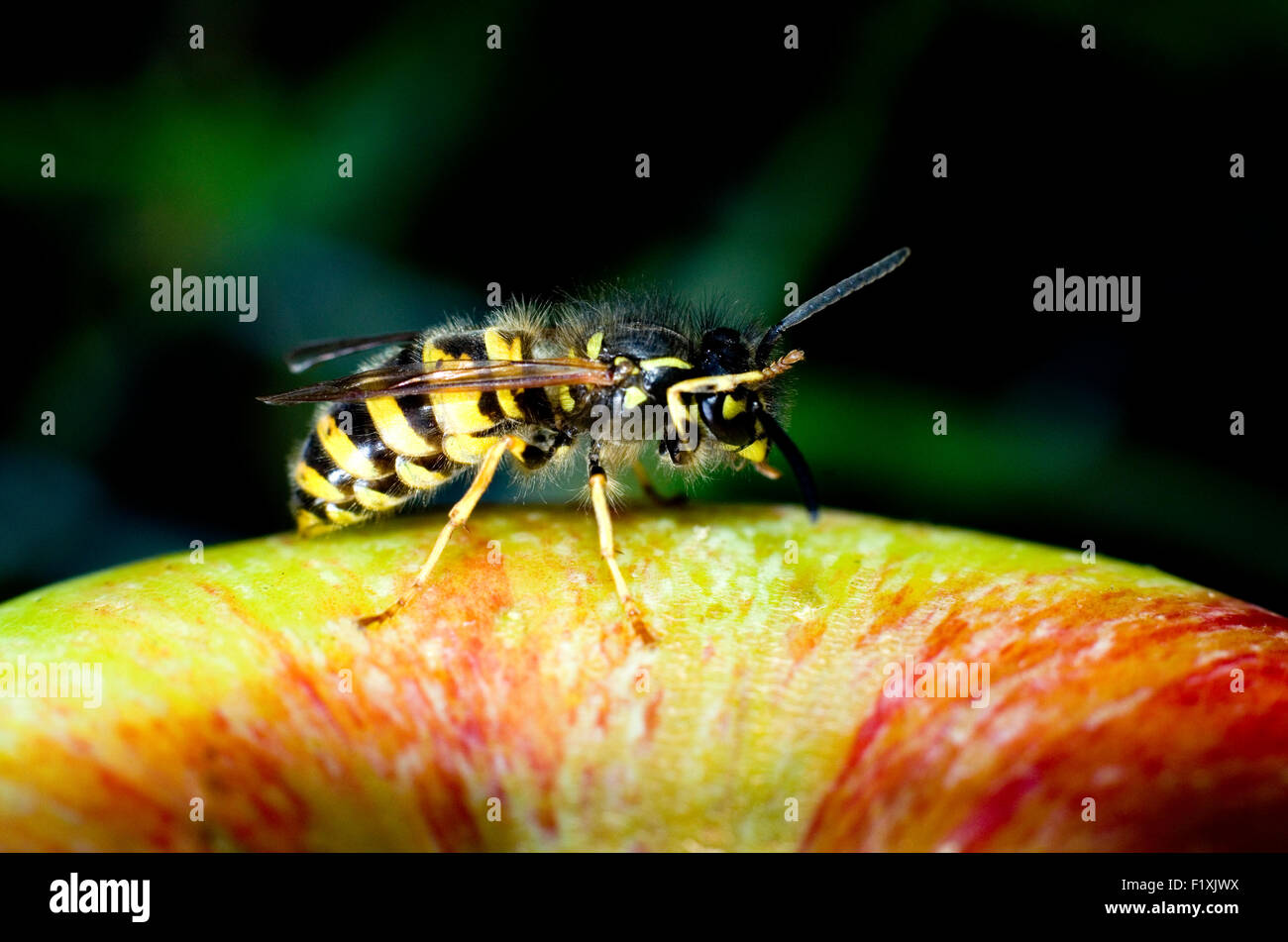 Common wasp (Vespula vulgaris) on an apple (malus domestica). - Stock Image