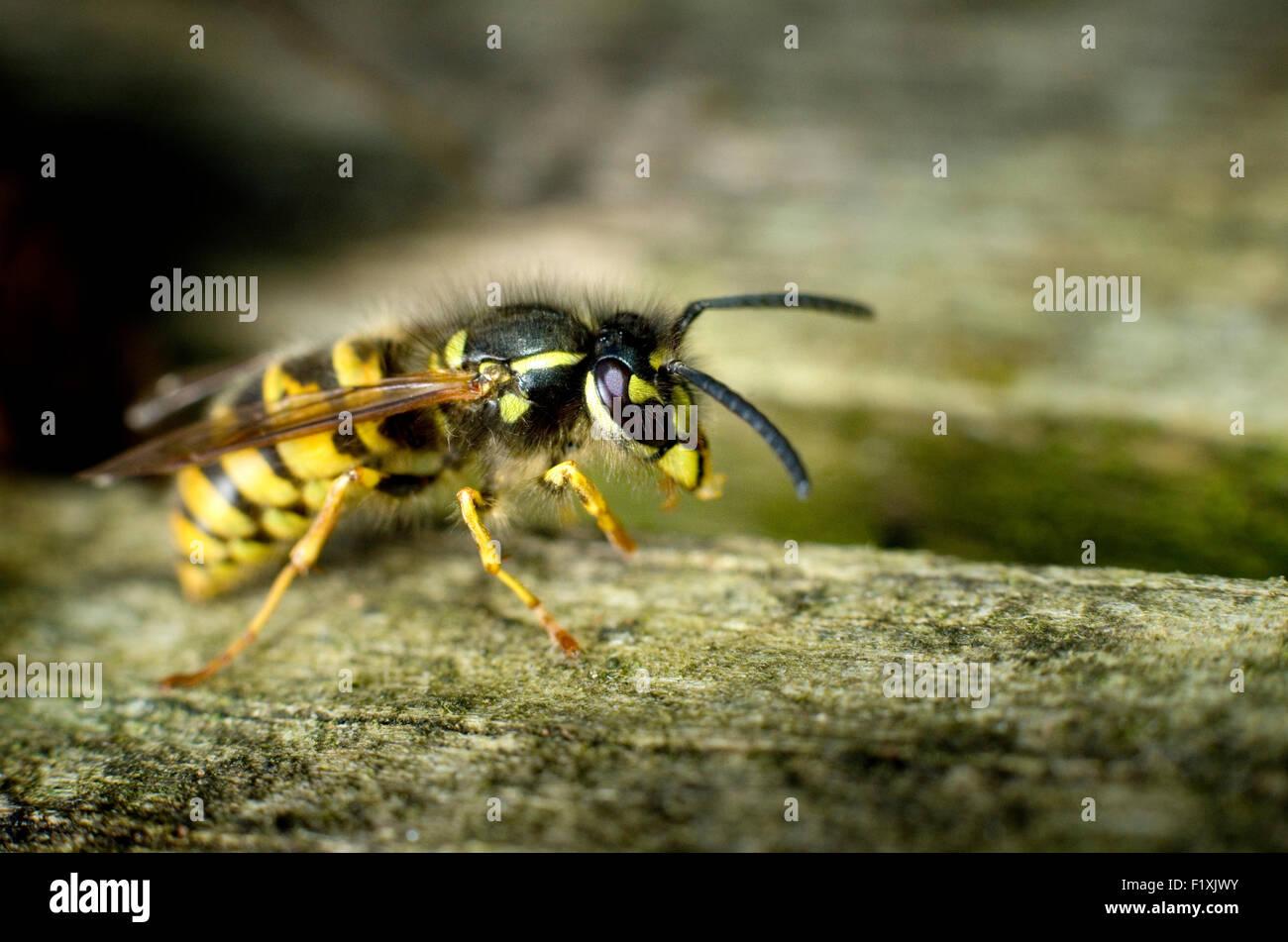 Common wasp (Vespula vulgaris) on wood. - Stock Image