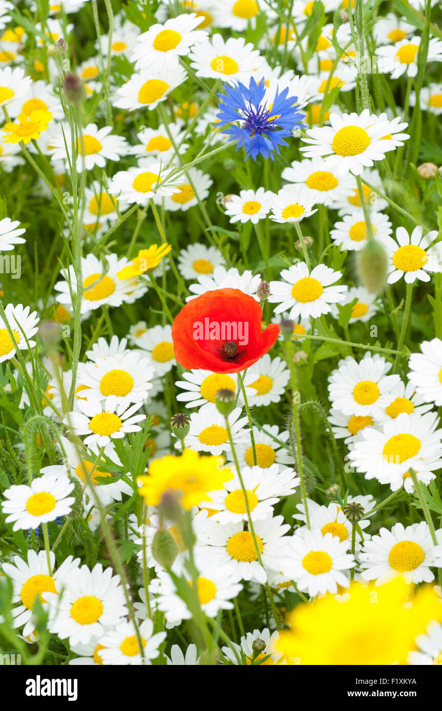 Summer wildflower meadow. - Stock Image