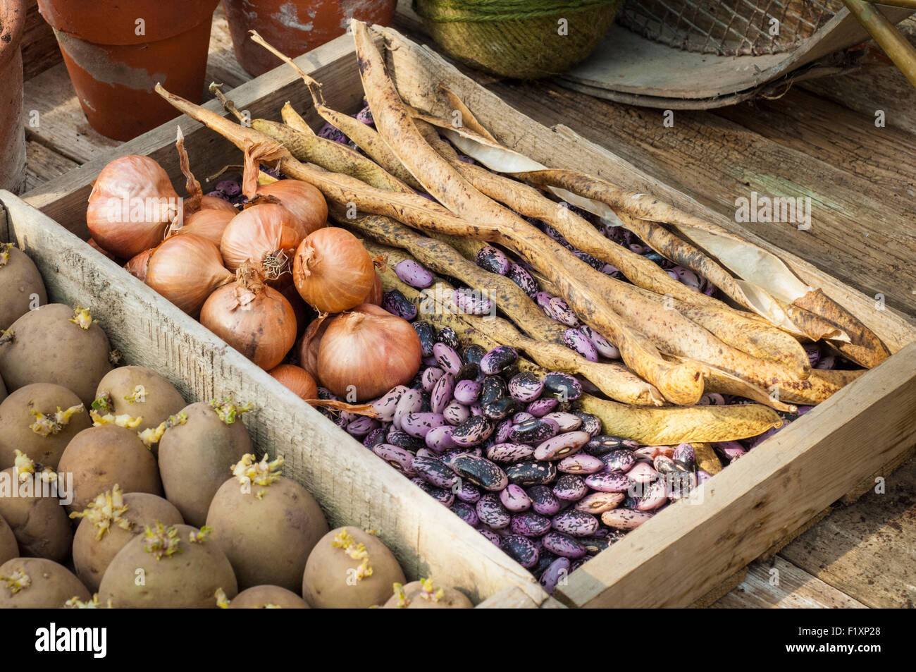 Garden lifestyle still life arrangement. seed potatoes shallots and onions. - Stock Image