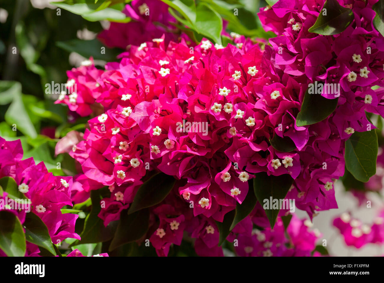 Bougainvillea flowers - Stock Image