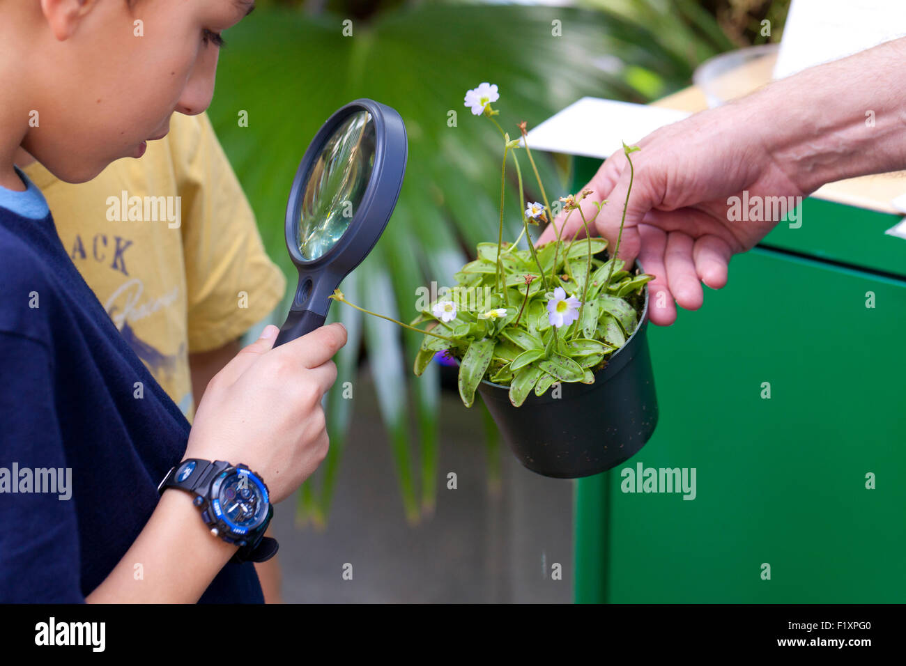 Child looking through magnifying glass at a Butterwort carnivorous plant (Pinguicula vulgaris) - Stock Image