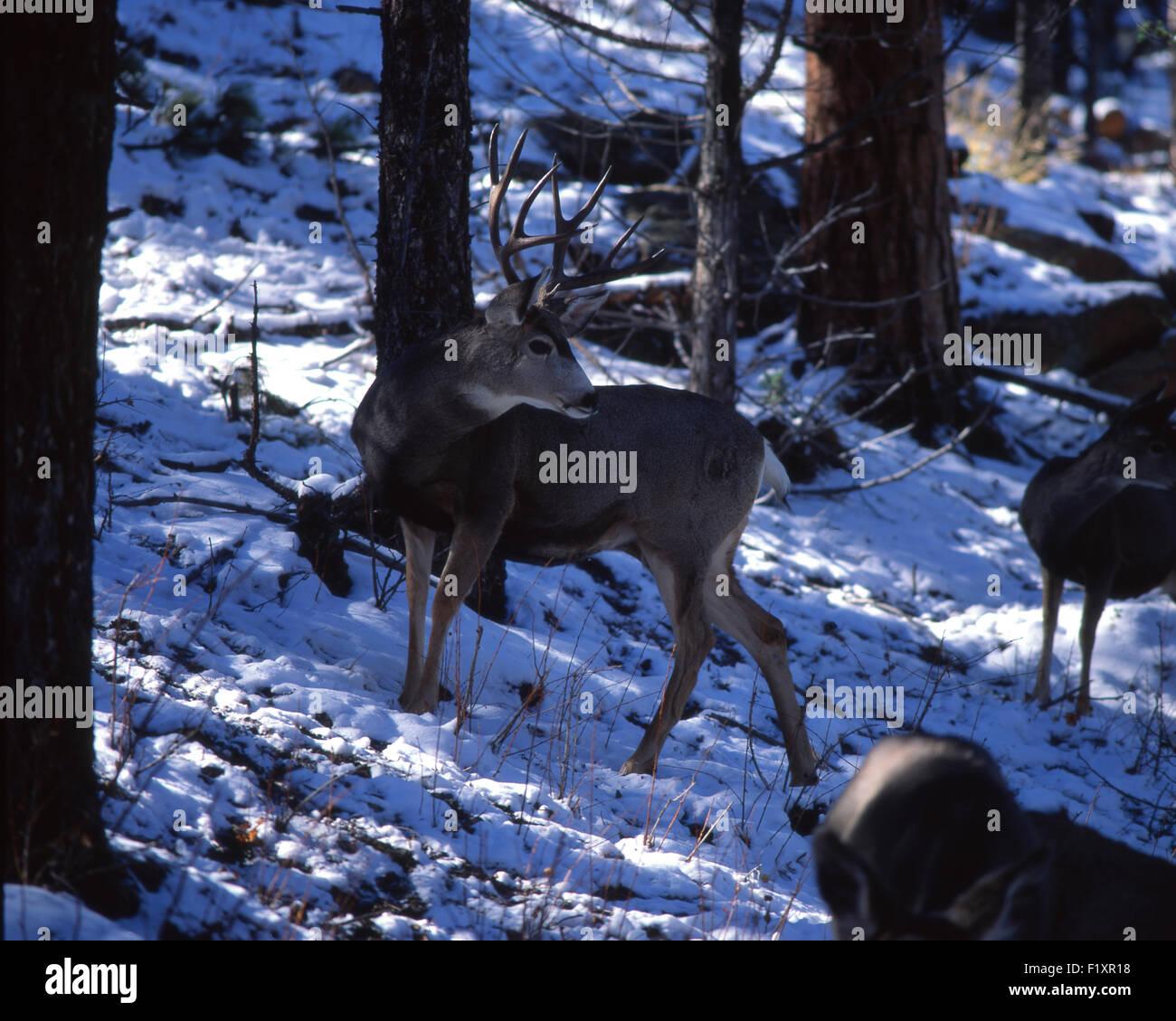 Mule Deer Winter - Stock Image
