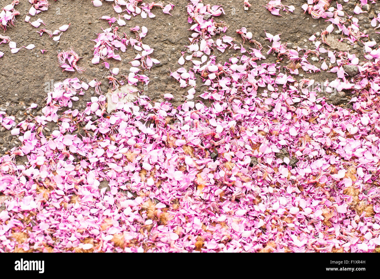 petals wisteria on the road - Stock Image
