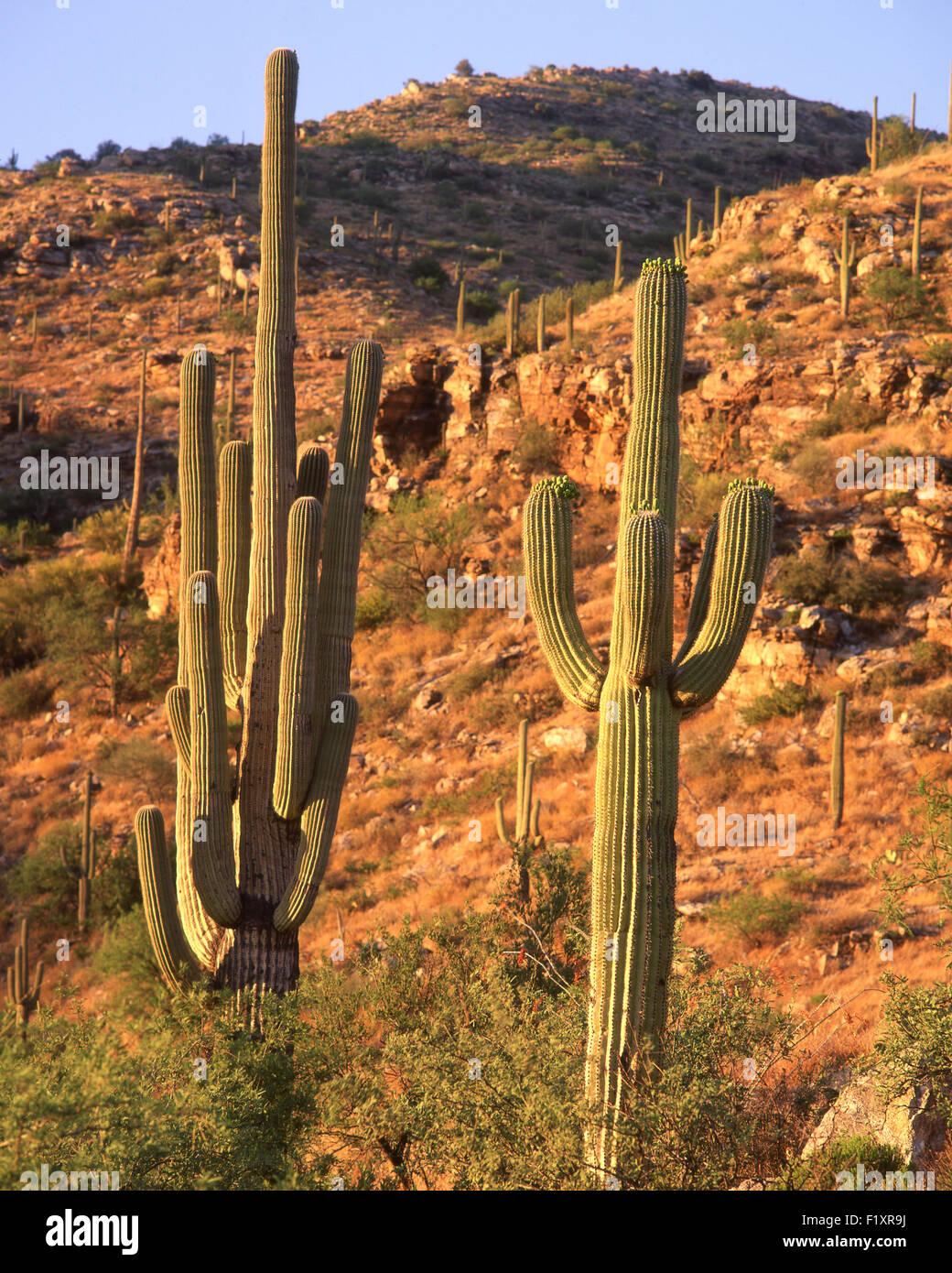 Suguaro National Park - Stock Image