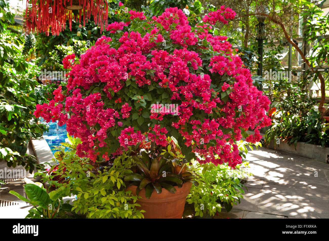 Bougainvillea tree - Stock Image