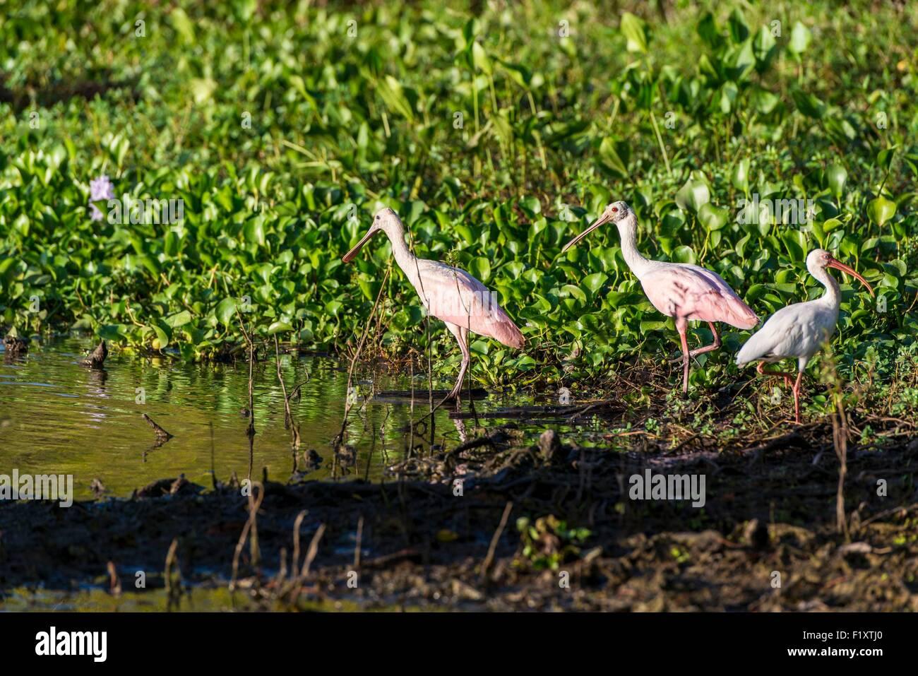United States, Louisiana, pink spatula (platalea ajaja) in the Lake Fausse Pointe Bayou - Stock Image