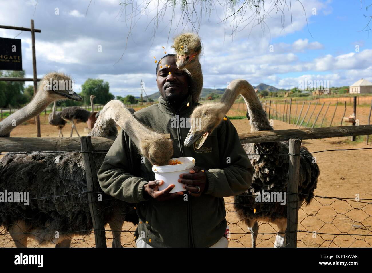 South Africa, Western Cape, Little Karoo, Highgate Ostrich farm near Oudtshoorn, on the road 62 - Stock Image
