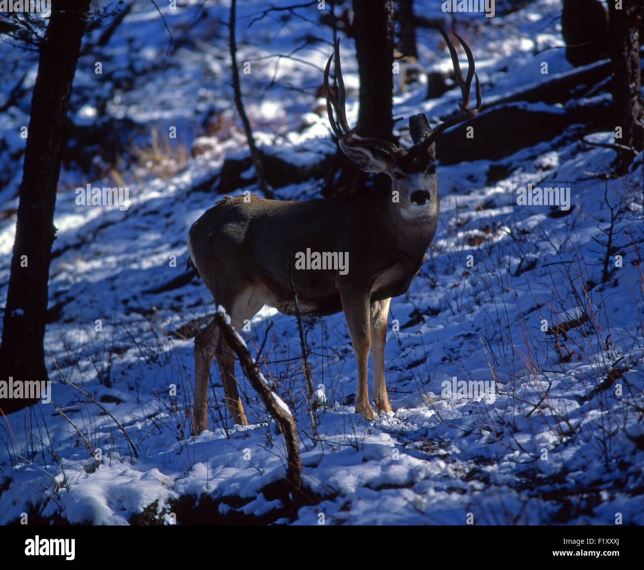 Buck Mule Deer Winter - Stock Image