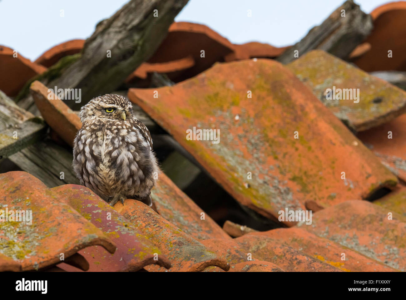 Little Owl (Athene noctua) perched on an old barn roof in a Norfolk farmyard, uk Stock Photo