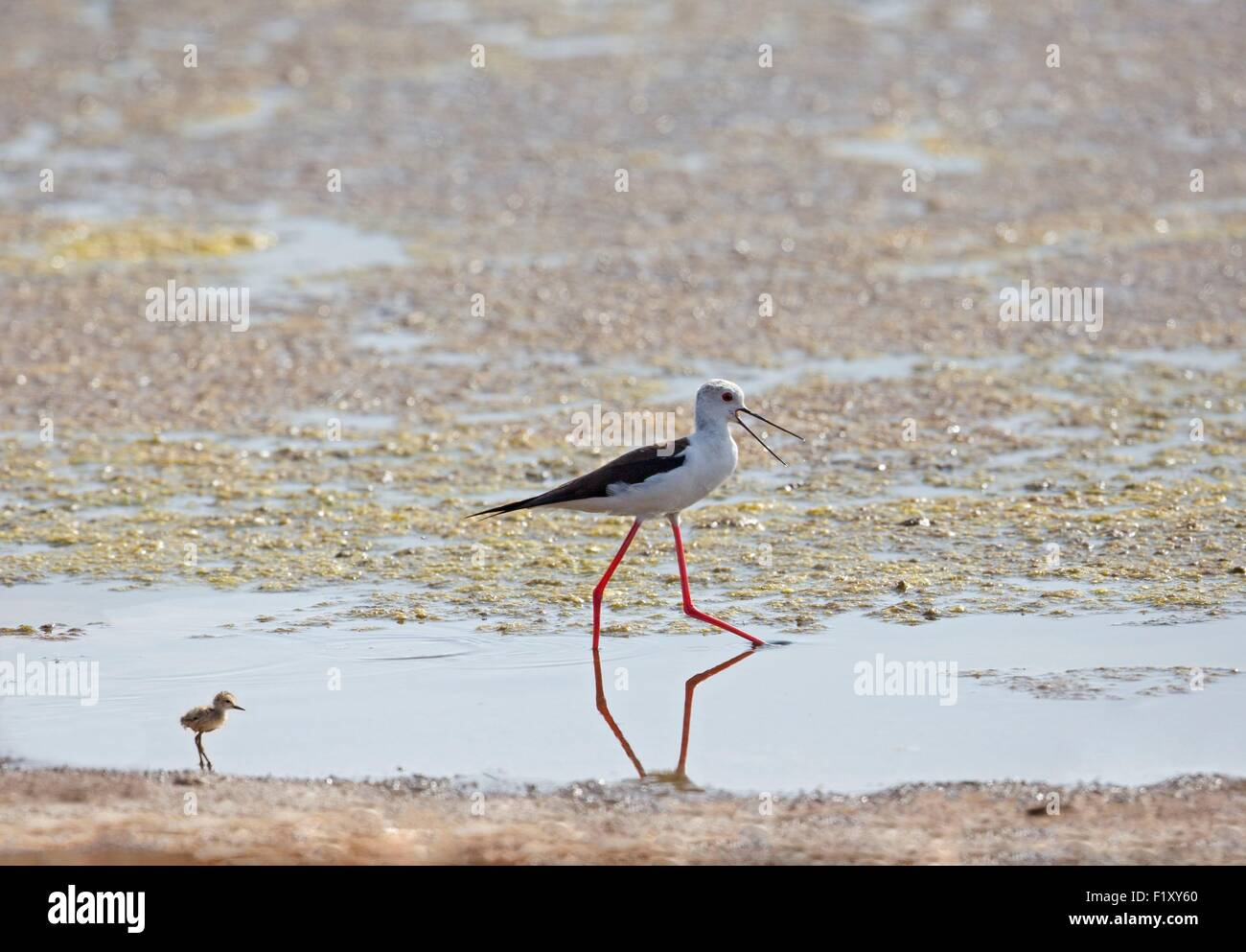 Morocco, Nador Lagoon, Black-winged Stilt (Himantopus himantopus), with her young Stock Photo