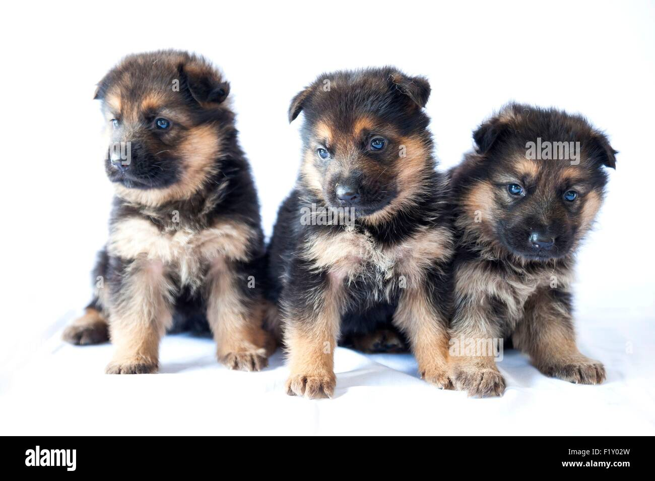 France, Ain, Dog (Canis lupus familiaris), German Shepherd puppies 1 month, Delacquis breeding - Stock Image
