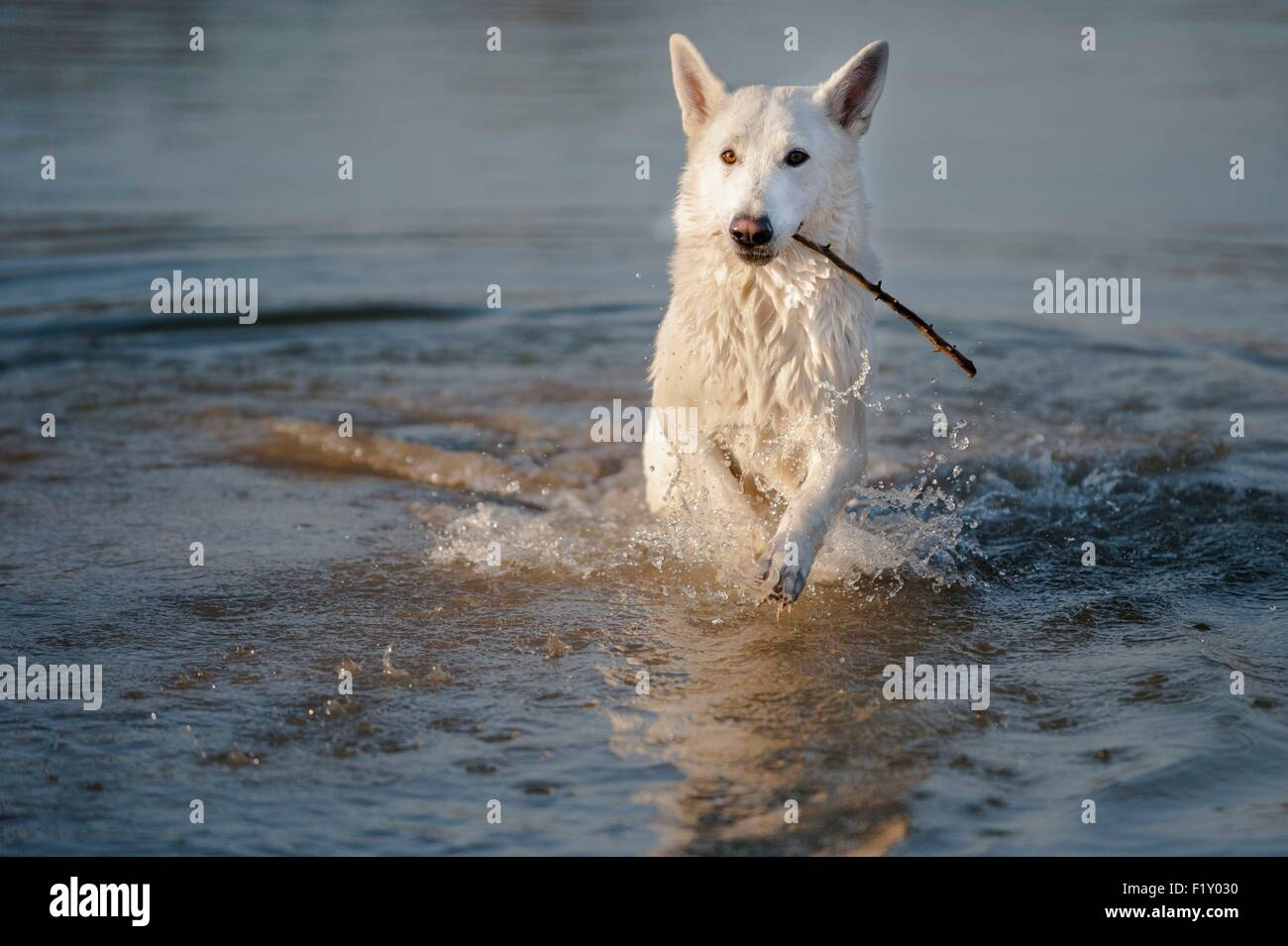 France, Isere, dog (Canis lupus familiaris), white Swiss sheepdog, in water - Stock Image
