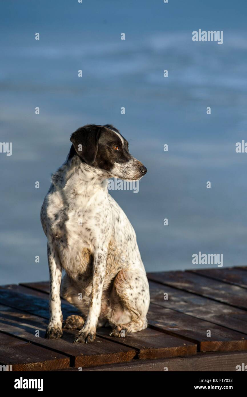 France, Loire, Dog (Canis lupus familiaris), hunting dog type Braque, seatted on a pontoon - Stock Image