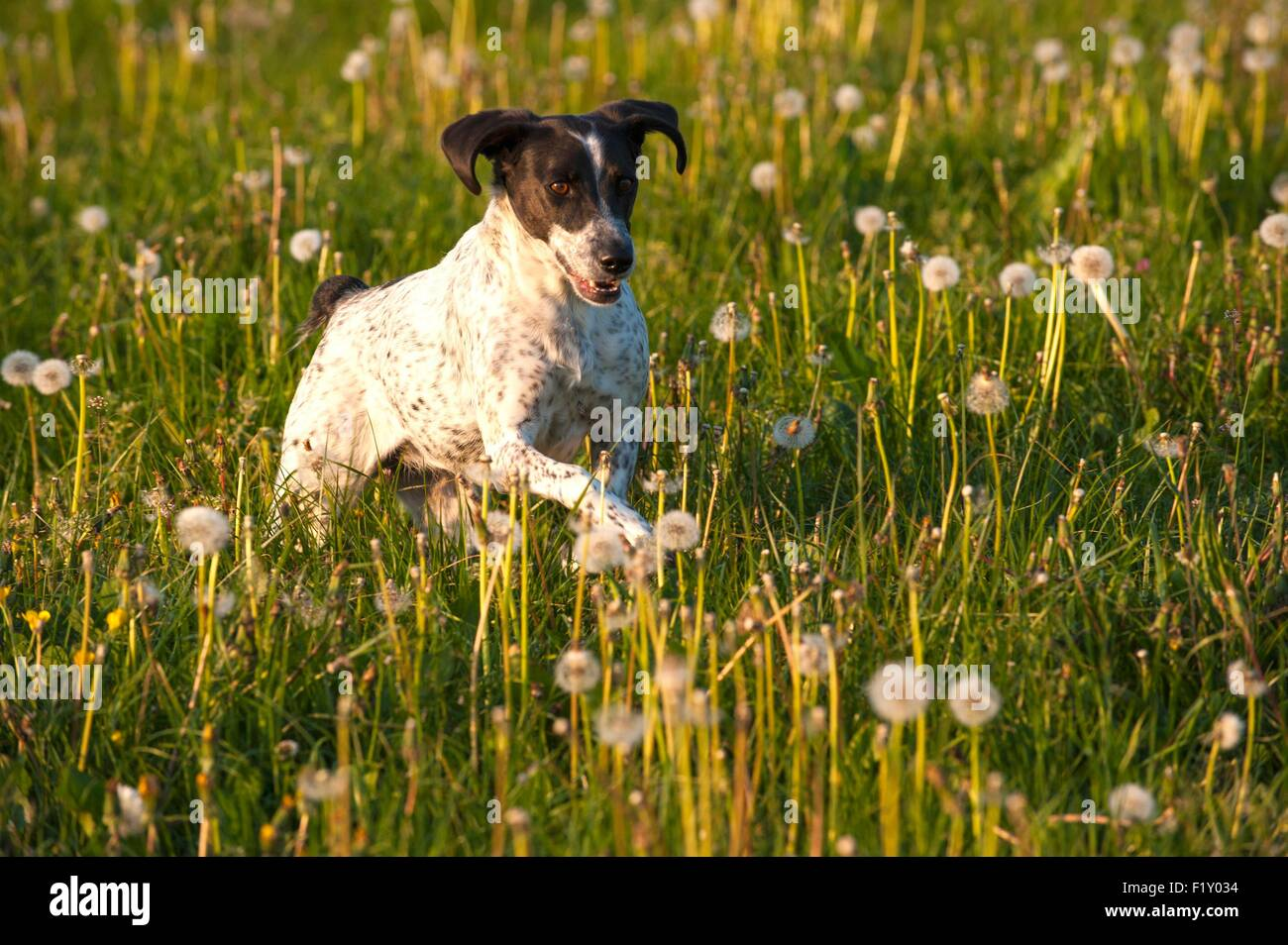 France, Loire, Dog (Canis lupus familiaris), hunting dog type Braque, running in a field - Stock Image