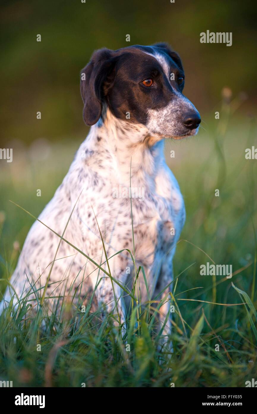 France, Loire, Dog (Canis lupus familiaris), hunting dog type Braque, seated in a field - Stock Image