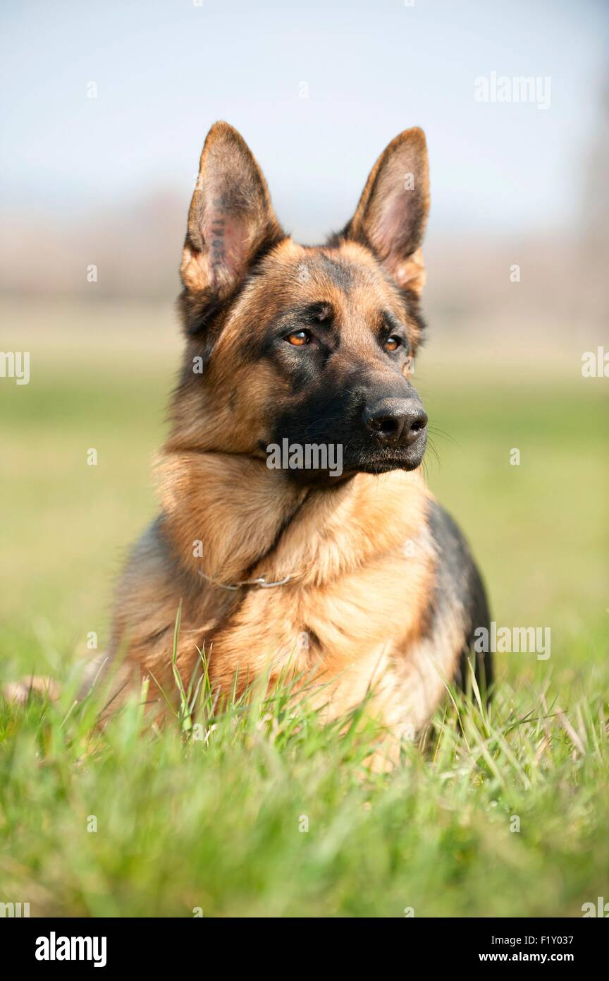 France, Rhone, dog (Canis lupus familiaris) German Shepherd lying down in the grass - Stock Image