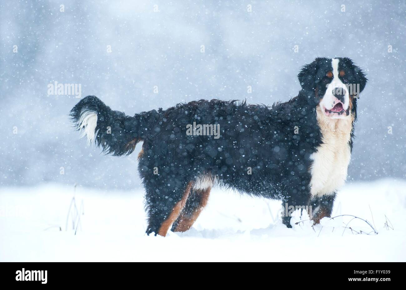 France, Isere, dog (Canis lupus familiaris), Bernese Mountain Dog in snow - Stock Image