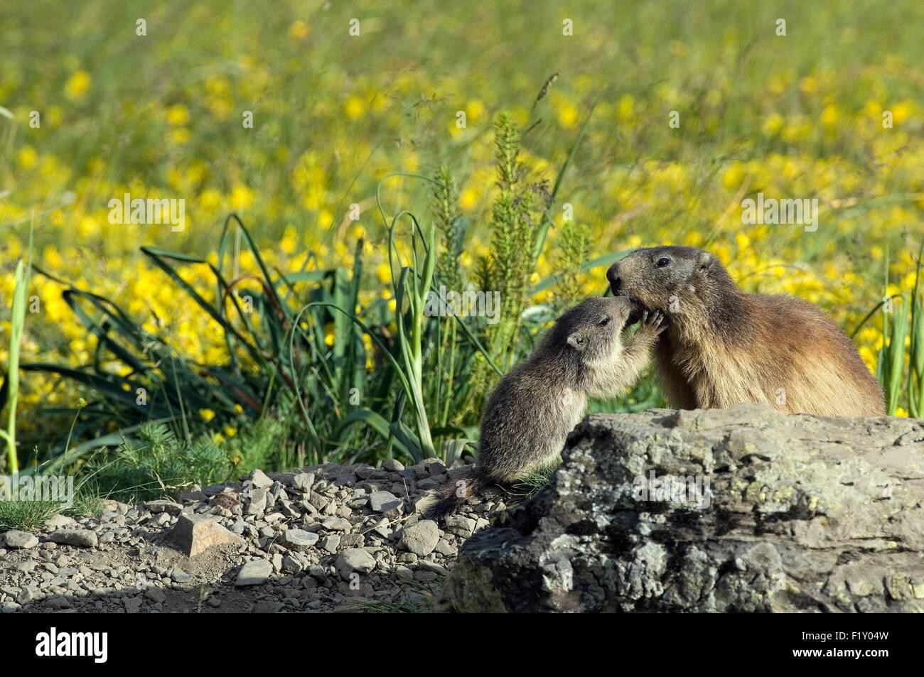 France, Alpine Marmot (Marmota marmota), adult and young mamotton - Stock Image