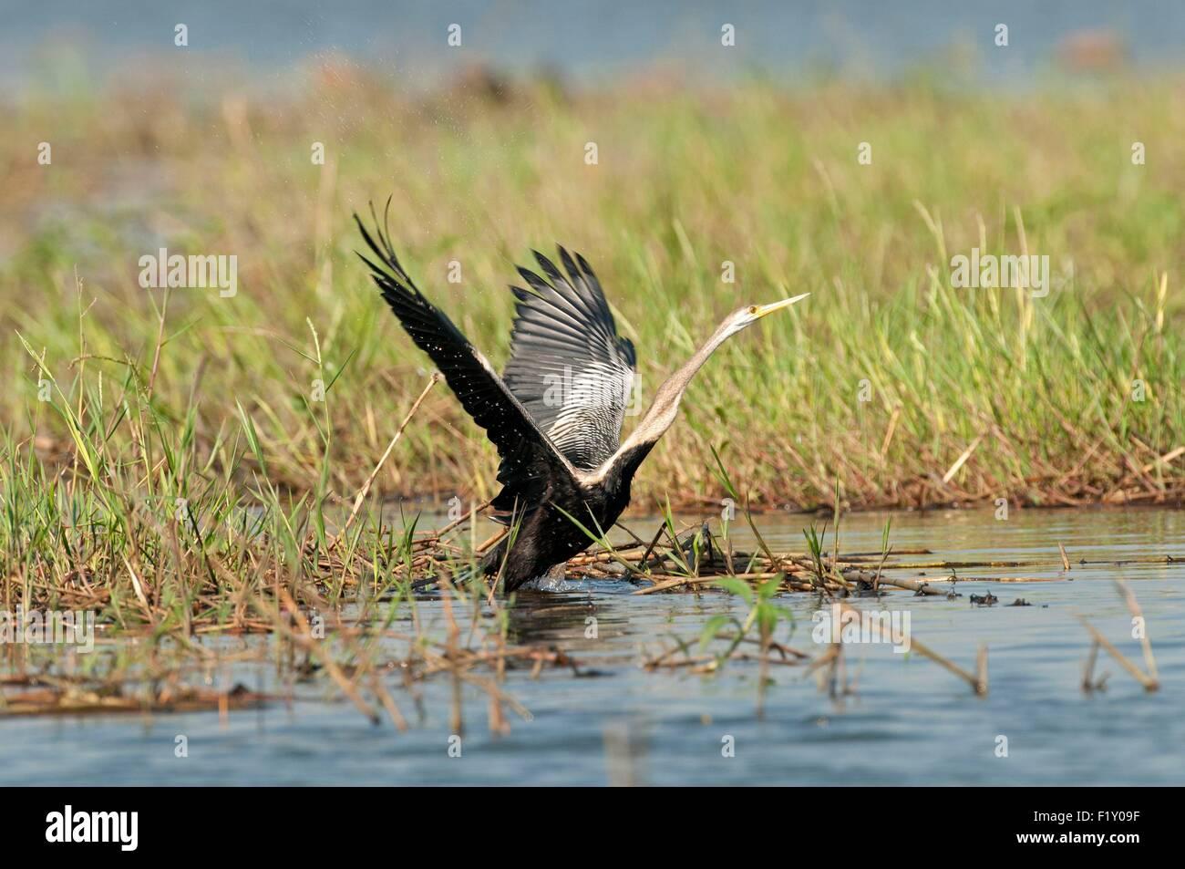 Thailand, Oriental Darter (Anhinga melanogaster) Take-off - Stock Image