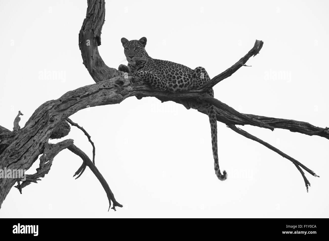 Botswana, Okavango Delta, listed as World Heritage by UNESCO, Khwai Concession, Leopard (Panthera pardus) - Stock Image