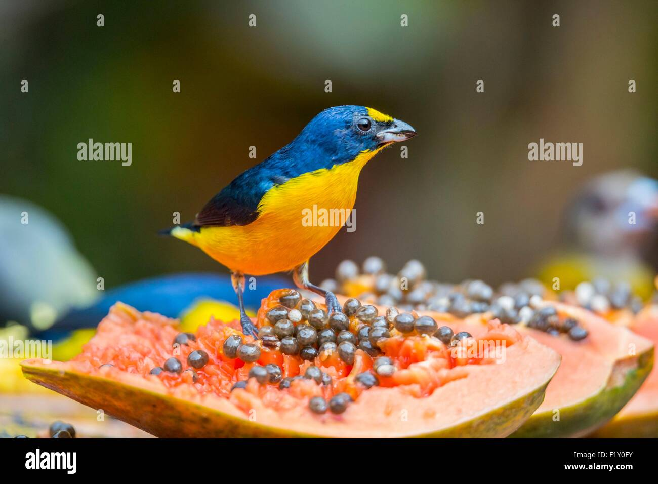Costa Rica, Alajuela province, Arenal, tropical bird - Stock Image