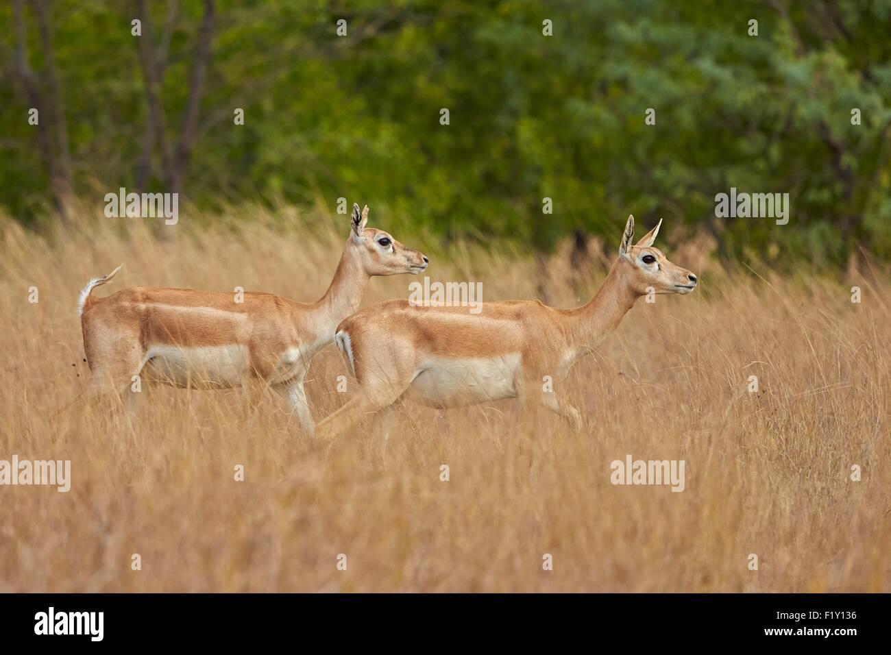 India, Gujarat state, Blackbuck national park, Blackbuck (Antilope cervicapra), female - Stock Image