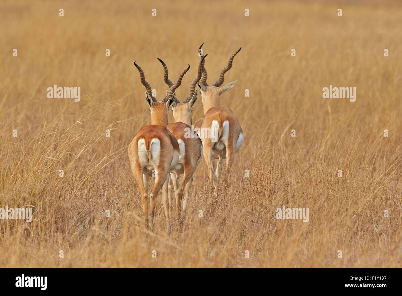 India, Gujarat state, Blackbuck national park, Blackbuck (Antilope cervicapra), male - Stock Image