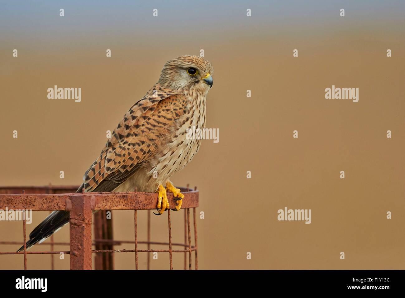 India, Gujarat state, Blackbuck national park, Common kestrel (Falco tinnunculus), also known as the European kestrel, - Stock Image