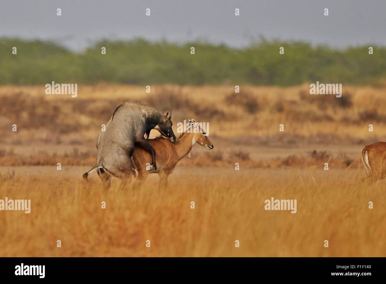 India, Gujarat state, Blackbuck national park, Nilgai or Indian Bull or Blue Antelope (Boselaphus tragocamelus), - Stock Image