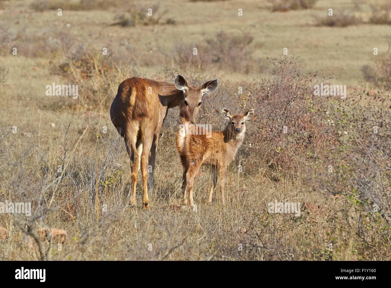 India, Rajasthan state, Ranthambore National Park, Sambar