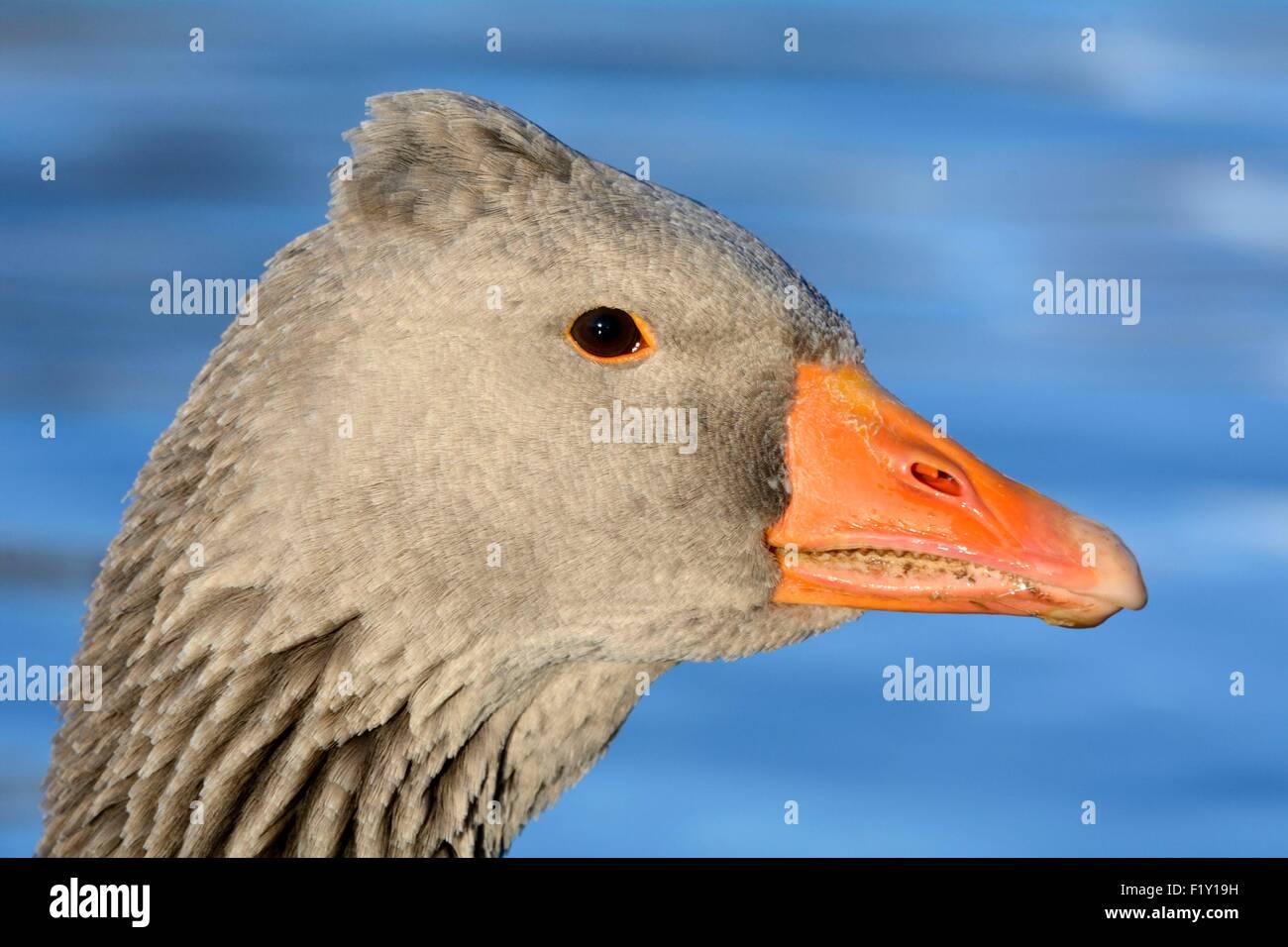 France, Doubs, Greylag Goose (Anser anser), portrait Stock Photo
