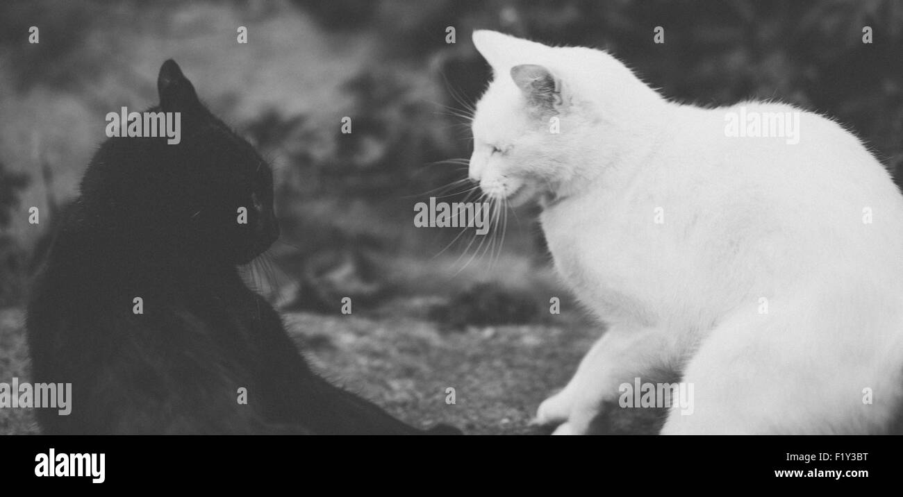 Black and white cats - tension before a fight - Stock Image