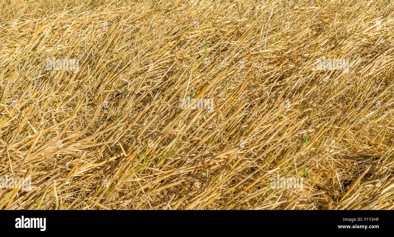 Yellow ears of corn stalks left in the field after harvest. - Stock Image