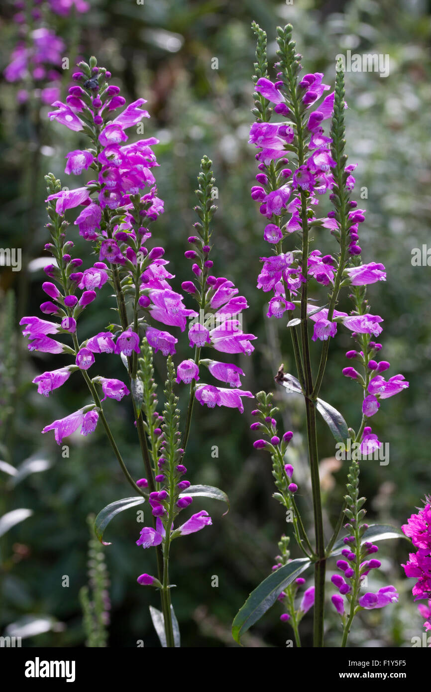 Backlit flowers in the spikes of the perennial obedient plant, Physostegia virginiana - Stock Image
