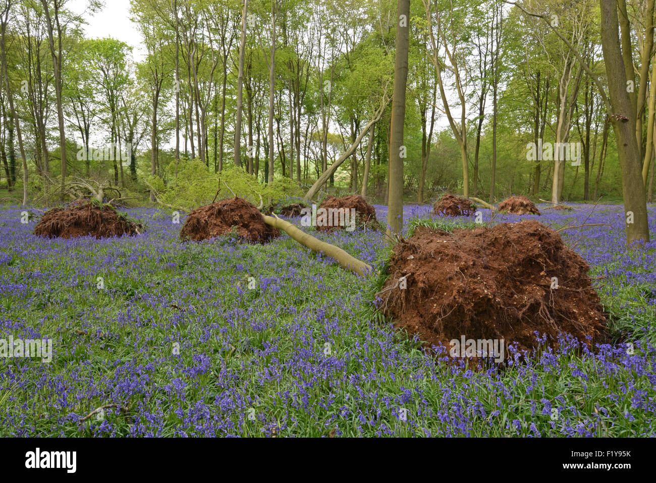 Uprooted beech trees following severe winter gales in early 2014 at Micheldever Wood in Hampshire, England - Stock Image
