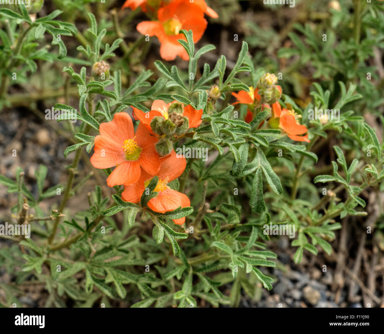 Sphaeralcea coccinea has many common names, among them Scarlet Globe Mallow, Copper Mallow and Cowboy's Delight. - Stock Image