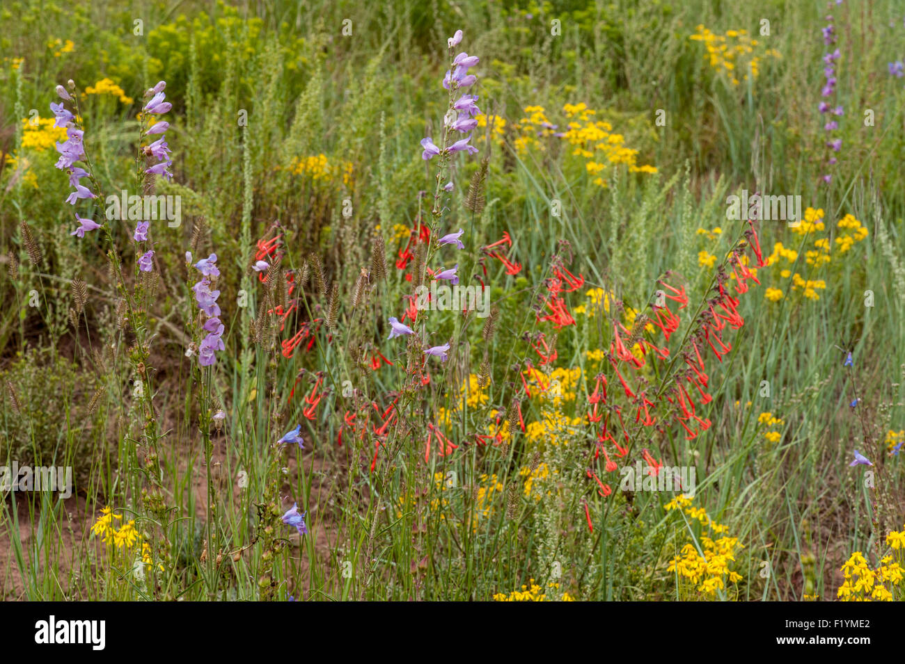 A profusion of color.  Wildflowers at the 8,300-foot level in Saguache County, Colorado - Stock Image