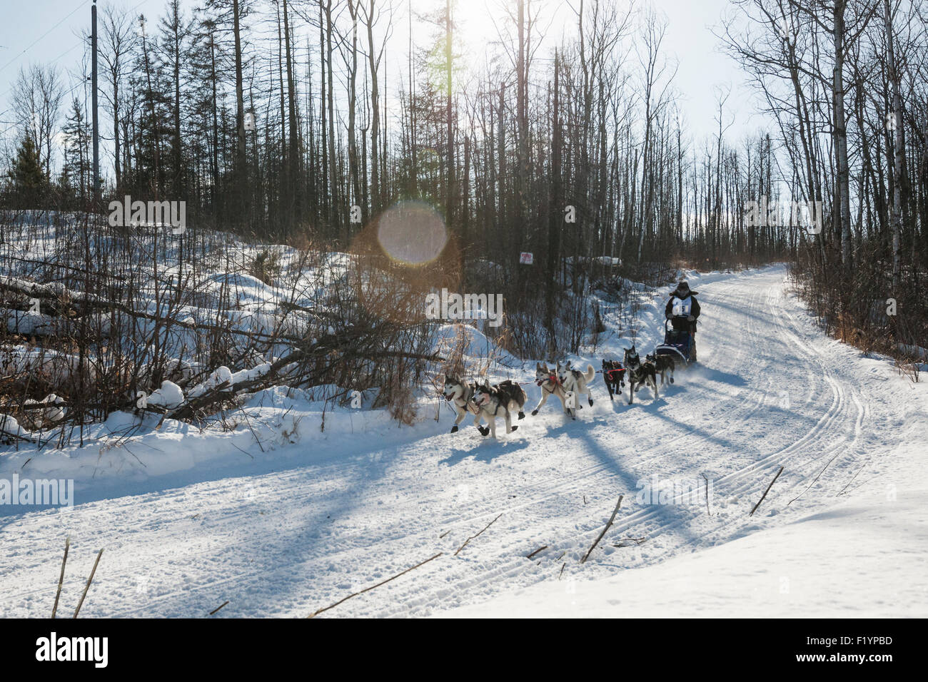 Musher leads his team of husky dogs down a snowy hill during the annual Wolf Track Classic sled dog race, Ely, MN, - Stock Image